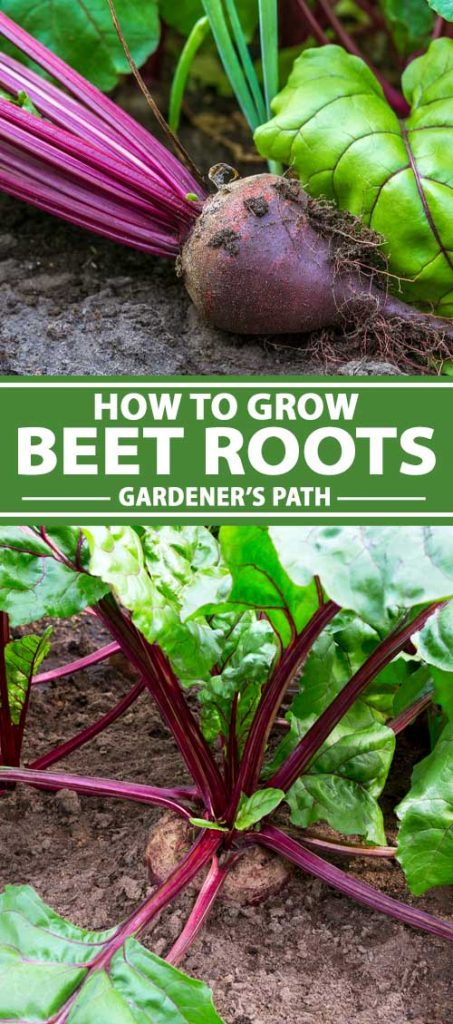 A collage of photos showing beet roots and greens growing in a vegetable garden.