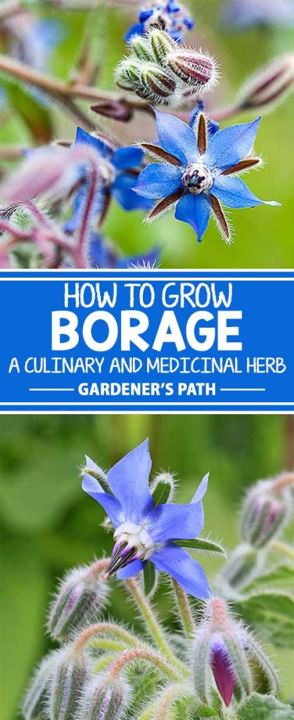 Borage is a hardy annual long prized by chefs and herbalists. Make room in the garden for blue star-shaped blossoms loved by beneficial bees. Let the plants self-sow in a sunny meadow for an attractive and maintenance-free zone. Learn all about this interesting plant, right here on Gardener's Path.