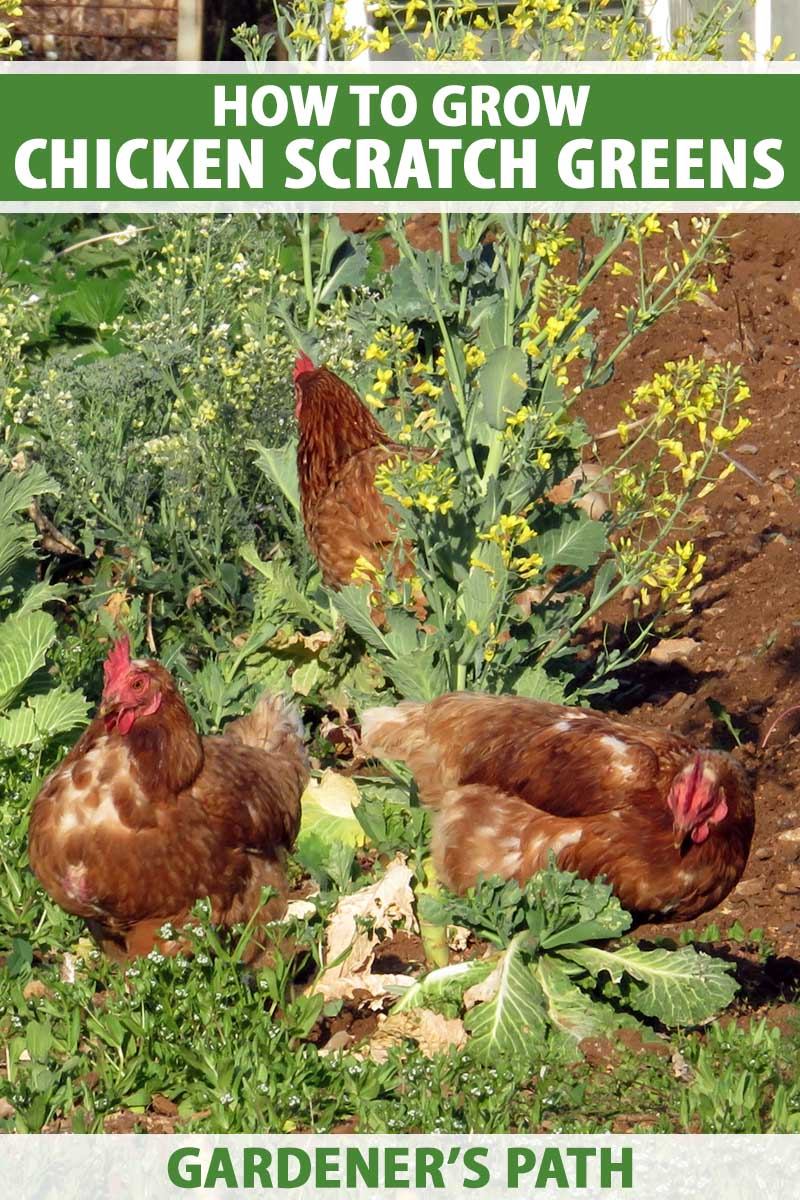 Three ginger chickens eating greens in small veggie garden.