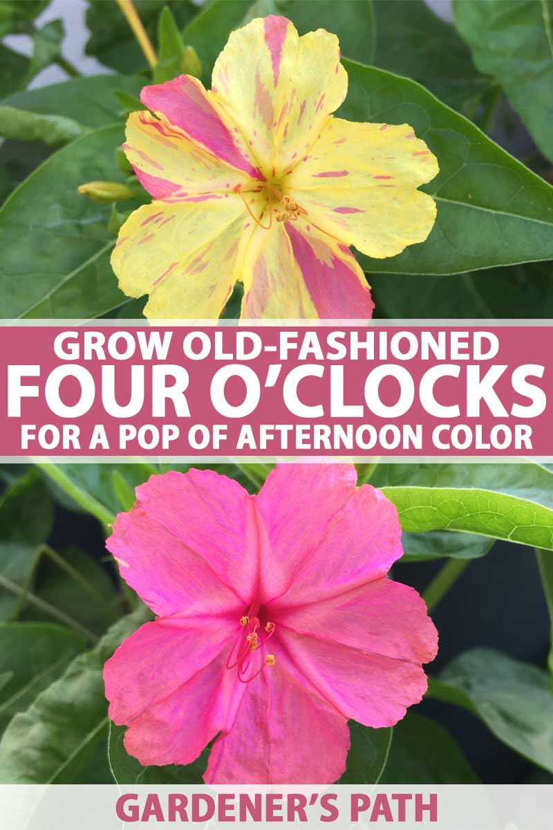 Learn How to Grow Four O'Clocks | Gardener's Path