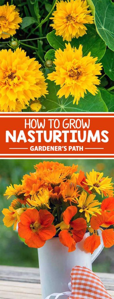 Nasturtiums, with their intense, vibrant blossoms, are one of the easiest annuals to grow from direct sowing of seeds! Low maintenance to the max, they grow quickly and aren't fussy about location. Plus, they take on a big workload as a companion plant in the veggie patch. Get all the growing tips and details right here!
