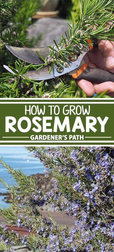 A collage of different views of rosemary growing in a herb garden.