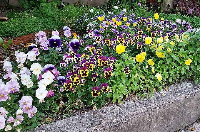 """Ish"" gardening with pansies. | GardenersPath.com"