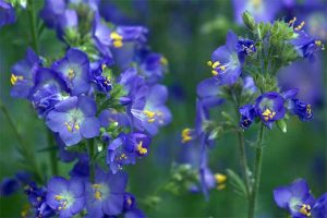 Jacob's Ladder: Regal Shade-Blooming Perennial
