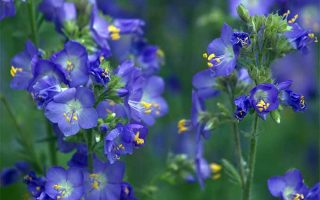 Shade-loving Jacob's ladder adds a spot of bright color to otherwise dark areas | GardenersPath.com