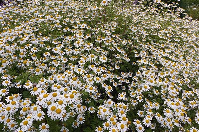 Feverfew is used medicinally to treat headaches and digestion problems | GardenersPath.com