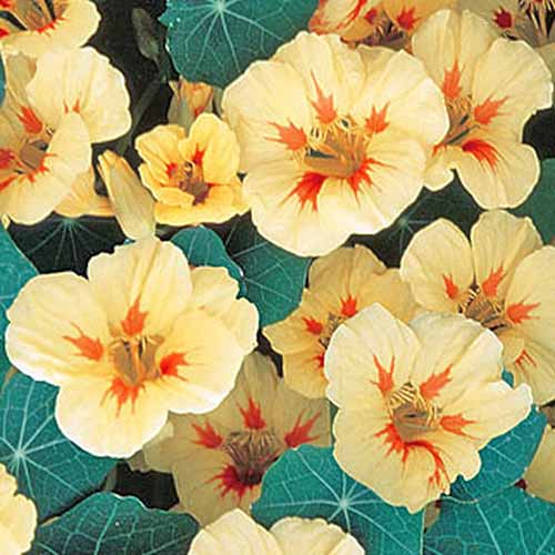 Yellow and orange 'Peach Melba' nasturtiums with blue-green foliage.