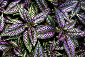 Persian Shield: An Exotic Specimen Plant