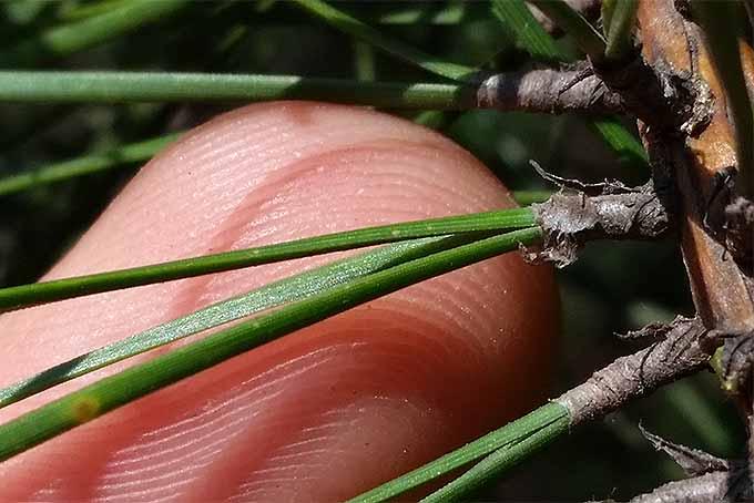 Closeup detail of pine needles. | GardenersPath.com