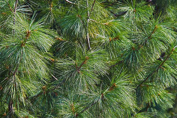 The needles of pine are unique in comparison to other conifers. | GardenersPath.com