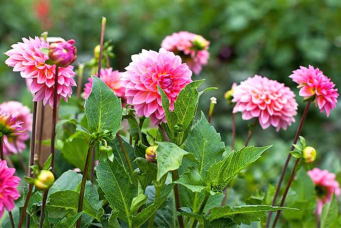 Pink dahlias growing in the garden | GardenersPath.com