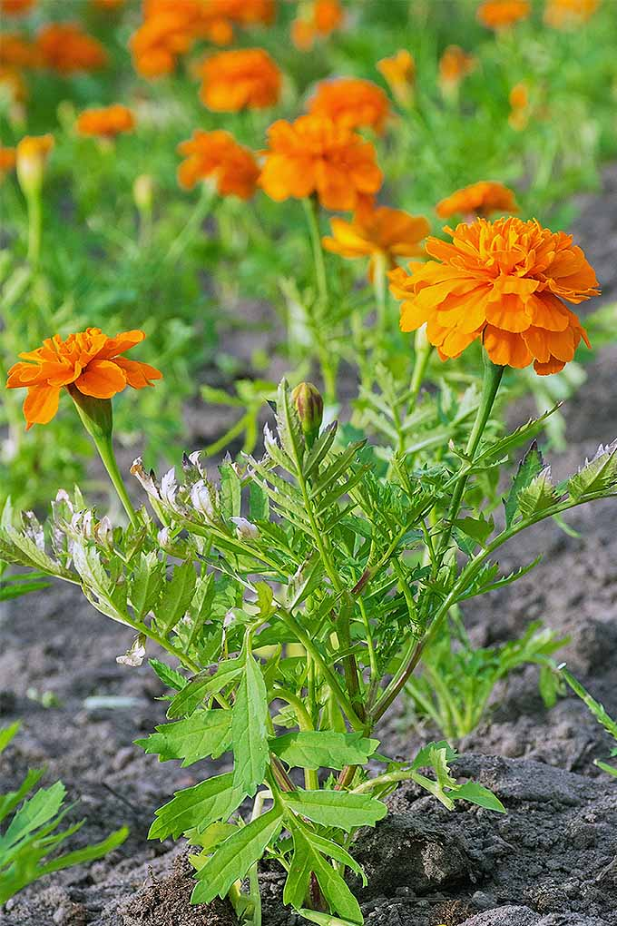Planting marigolds to keeps pests away- old wives' tale, or planting with purpose? https://gardenerspath.com/how-to/beginners/planting-with-purpose/