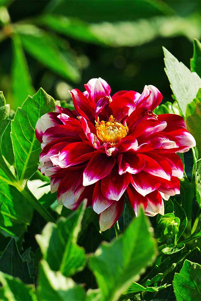 Love dahlias? You can learn how to grow them in your own garden: https://gardenerspath.com/plants/flowers/delightful-dahlias/