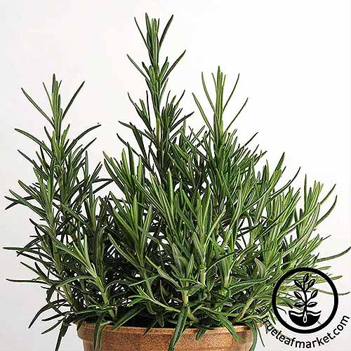 Potted rosemary | GardenersPath.com