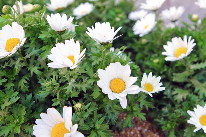 Feverfew reseeds quite liberally and will cover a large area in a few short years | GardenersPath.com