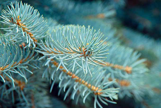 Closeup spruce needles look different from other conifers. | GardenersPath.com