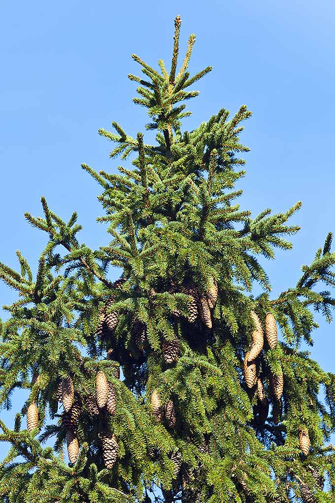 Do you know the difference between a spruced pine, and a fir tree? We can help to resolve your conifer confusion, for good! Read more now or pin it for later: https://gardenerspath.com/plants/landscape-trees/identifying-conifers/