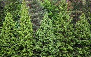 Conifer Confusion : An Identification Guide for Pine, Spruce, and Fir Trees
