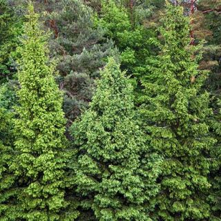 the best pine fir and spruce identification guide gardener s path