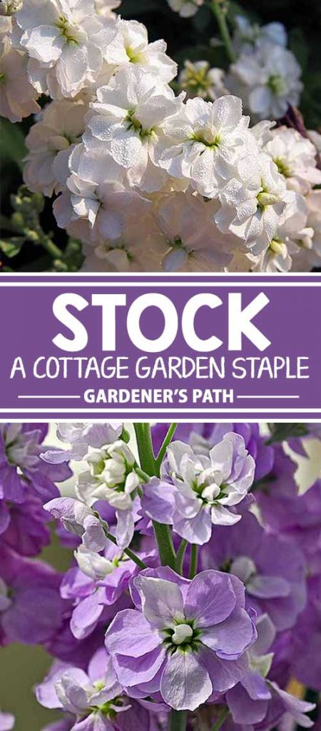 Are you looking for a flower that evokes images of Victorian ladies with parasols in their cottage gardens? One that adds rich color and fragrance to beds and borders? Matthiola incana, commonly called stock, is the perfect choice. Learn all about this timeless classic right here on Gardener's Path.
