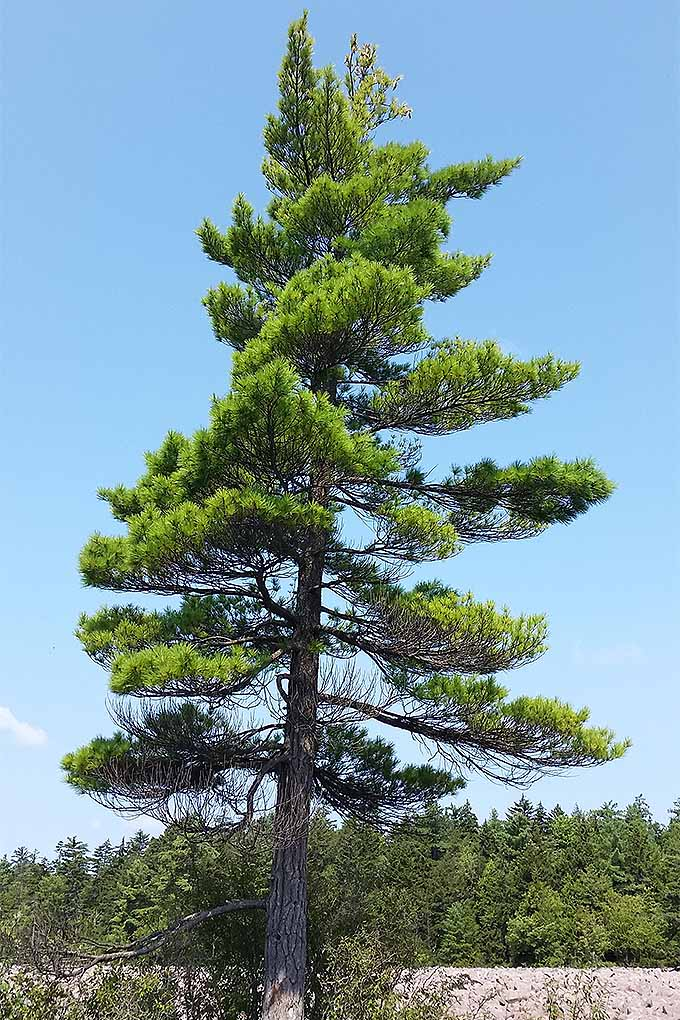 Pine, fir, spruce, hemlock, cedar, yew... suffering from conifer confusion? This article will help you to become an evergreen identification pro: https://gardenerspath.com/plants/landscape-trees/identifying-conifers/