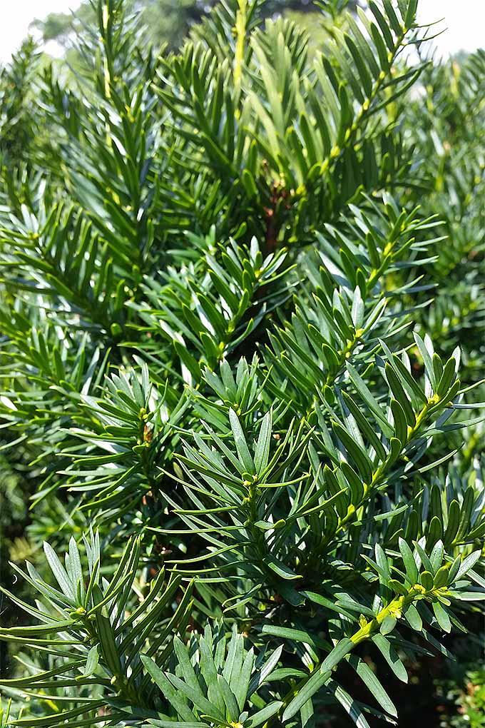 Can you tell the difference between a yew (like the one pictured) and other