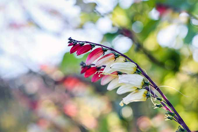Firecracker vine adds brilliant and unusual color to the landscape | GardenersPath.com