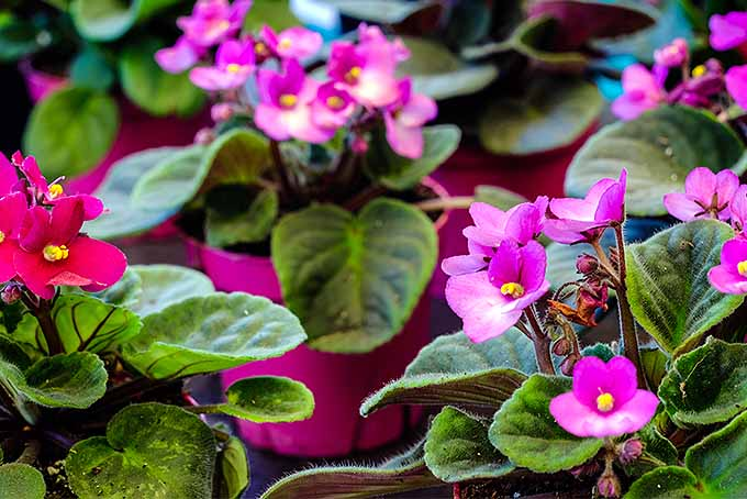 African Violet Cultivation Tips | GardenersPath.com