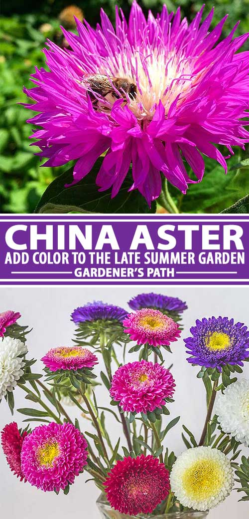 A collage of photos showing different colors of a china aster in garden settings.