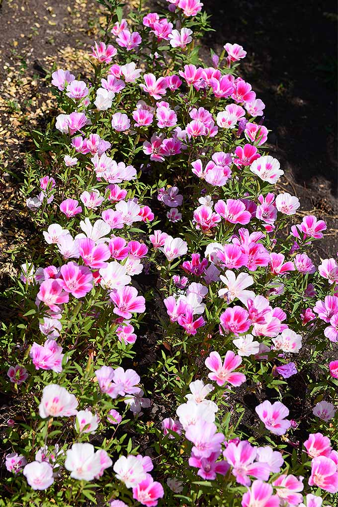 Satin flower (Clarkia amoena) makes a lovely addition to the garden, particularly in the west. Read more: https://gardenerspath.com/plants/flowers/satin-flower/