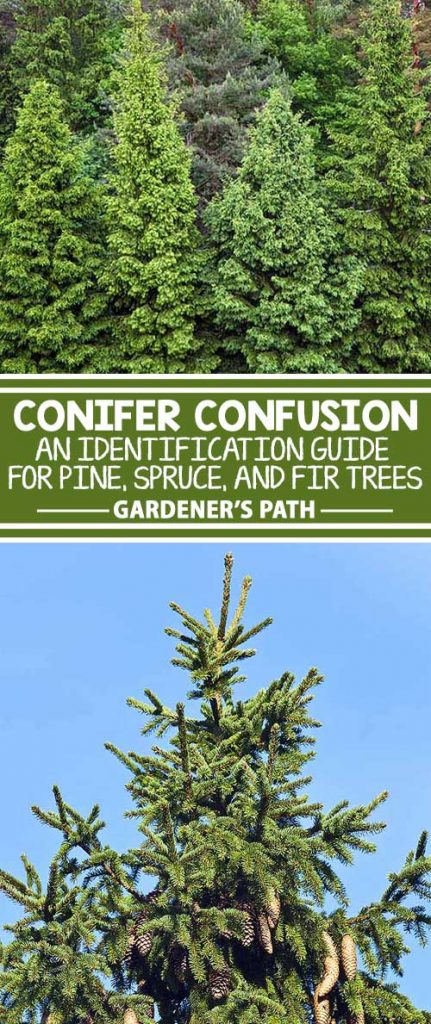 A collage of photos showing different type of conifer trees including pine, spruce, and fir.