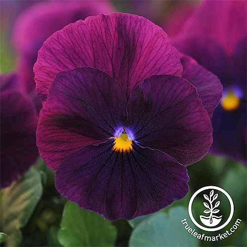 Purple Cool Wave V. tricolor | GardenersPath.com
