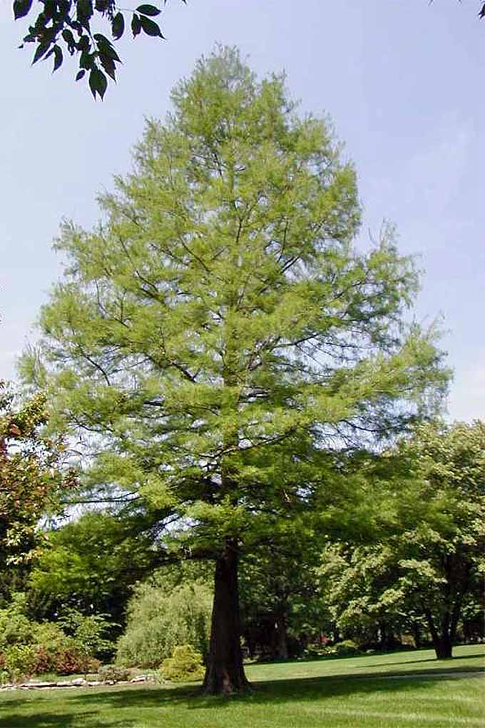 This tall cypress is such a beautiful specimen. We share the details of growing this and more of our favorite fast-growing shade trees on Gardener's Path. Read more now or Pin It for later: https://gardenerspath.com/plants/landscape-trees/how-use-to-cool-your-home/