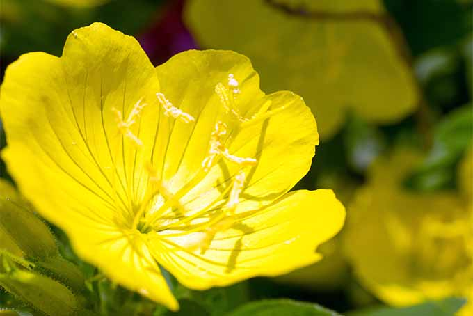 Pretty evening primrose is widely adapted | GardenersPath.com
