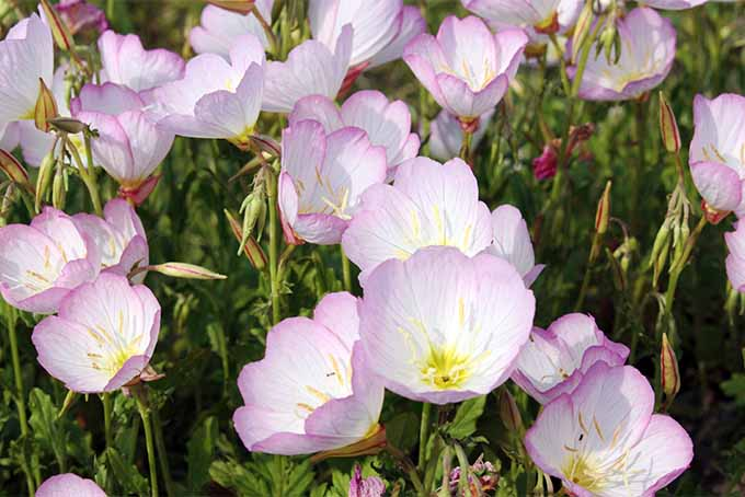 Evening primrose plants are especially attractive in groupings | GardenersPath.com