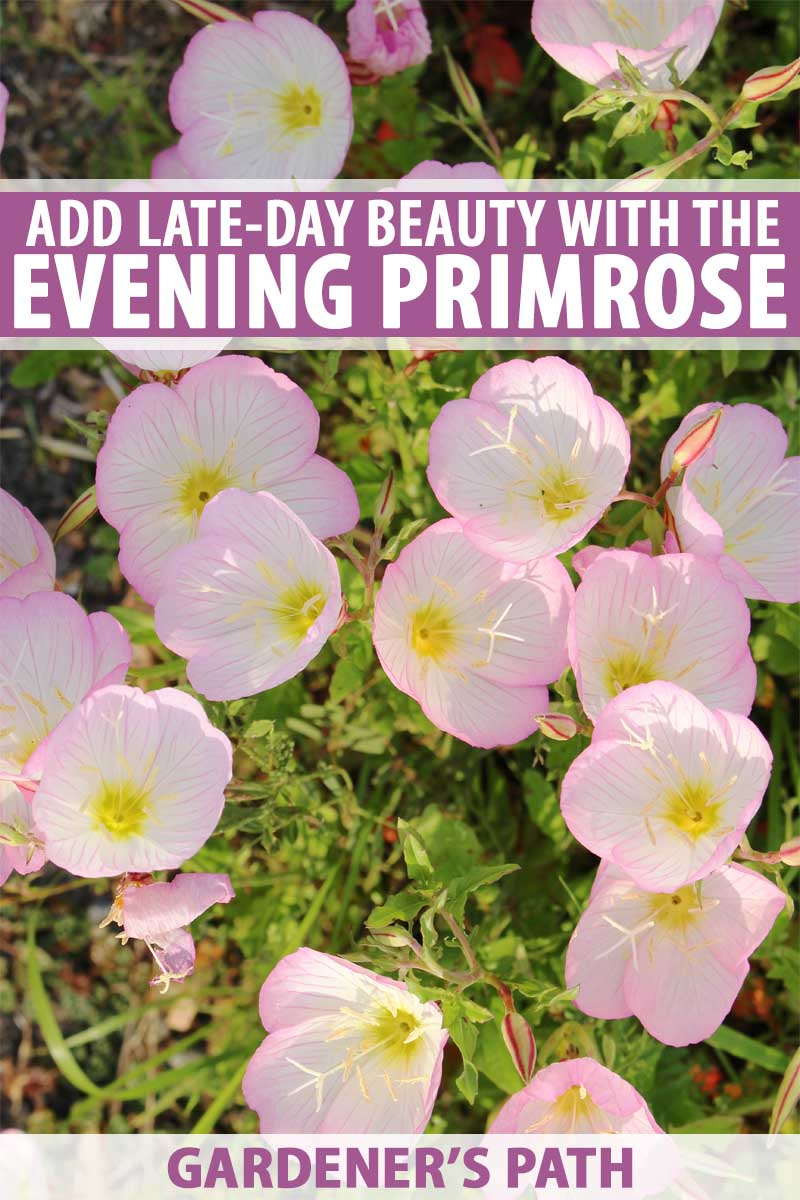 Close up of a planting of light pink and white evening primroses.