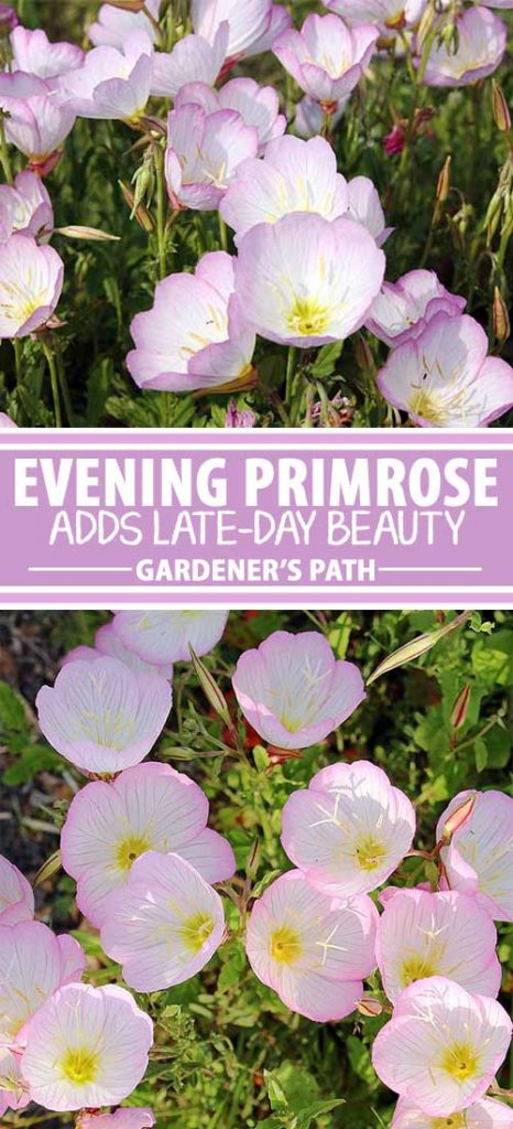 A collage of photos showing different views of delicate white and pink evening primrose blooms.