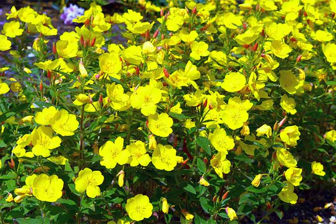 How to grow evening primrose a triple duty plant gardeners path evening primrose was once cultivated for its edible roots gardenerspath mightylinksfo