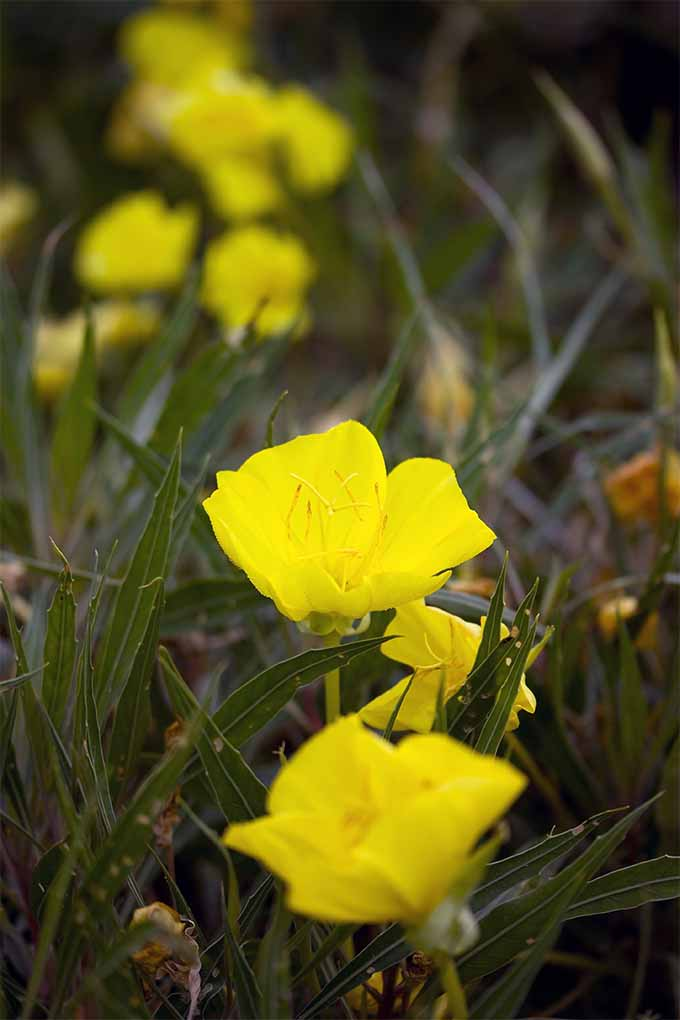 Learn All About Native American Beauty Evening Primrose The Plant That Shows Off At Night