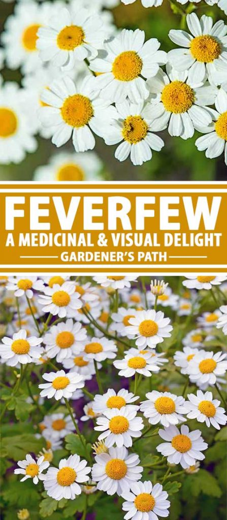 A collage of photos showing different views of the white flowers of feverfew in bloom.