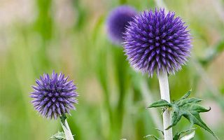 Small Globe Thistle for Xeriscaping and Cutting Gardens
