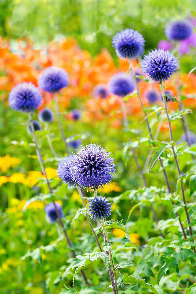 Want to add these beautiful blue pom-poms to your garden? We'll teach you how to grow small globe thistle: https://gardenerspath.com/plants/flowers/small-globe-thistle/