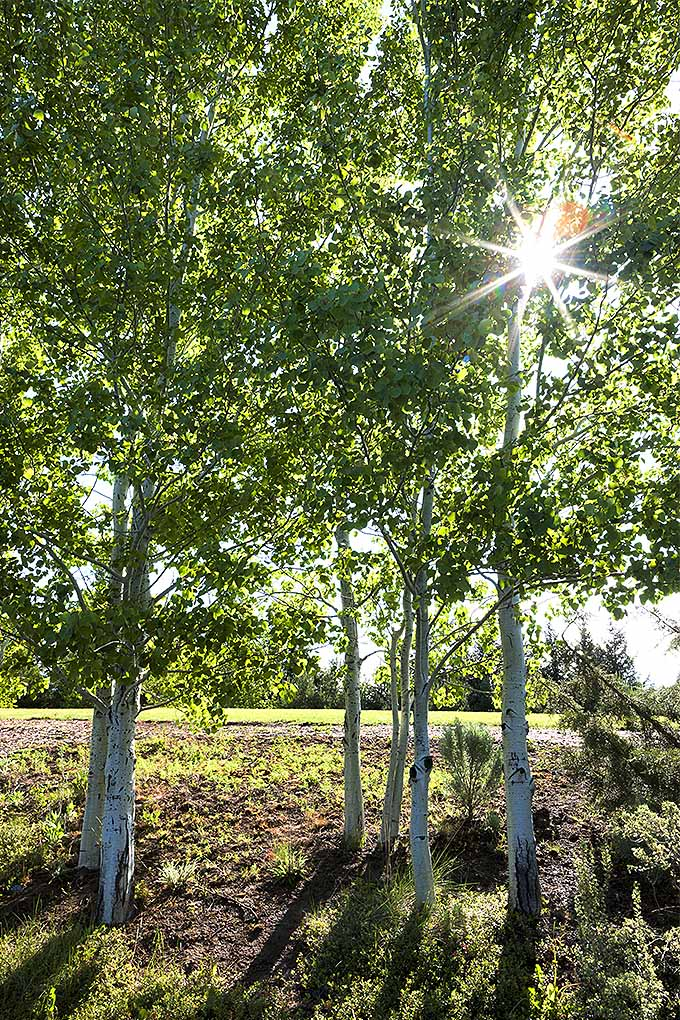 Want to add some shade to your landscape? Quaking aspen trees grow quickly. Find out if they do well in your USDA Hardiness Zone: https://gardenerspath.com/plants/landscape-trees/how-use-to-cool-your-home/