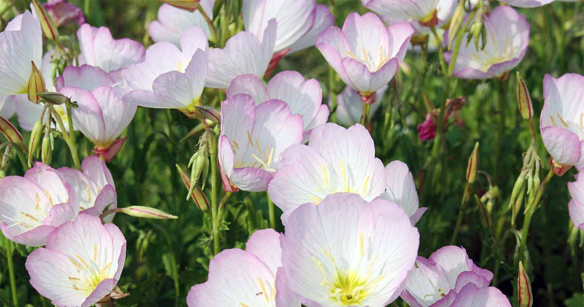 How to Grow Evening Primrose, A Triple-Duty Plant
