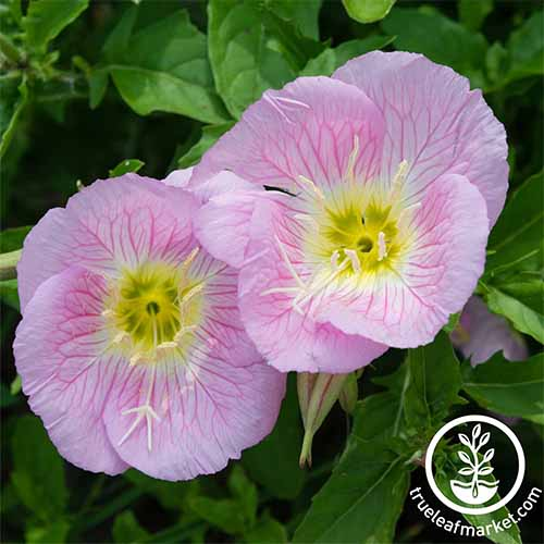 Evening primrose is easy to grow | GardenersPath.com