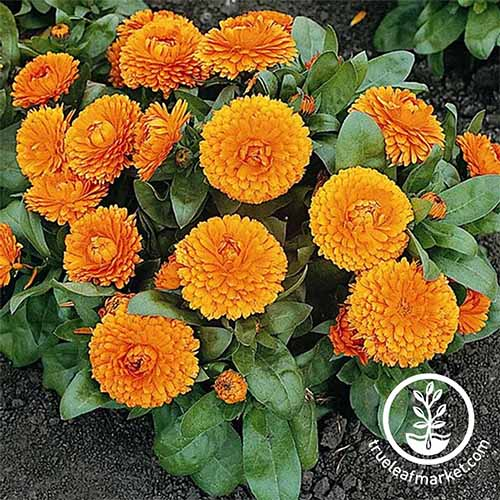 Pot marigold is a well-respected beneficial botanical with culinary and medicinal uses | GardenersPath.com