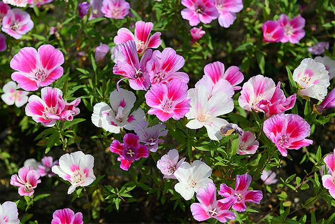 Grow Satin Flowers in Your Garden | GardenersPath.com