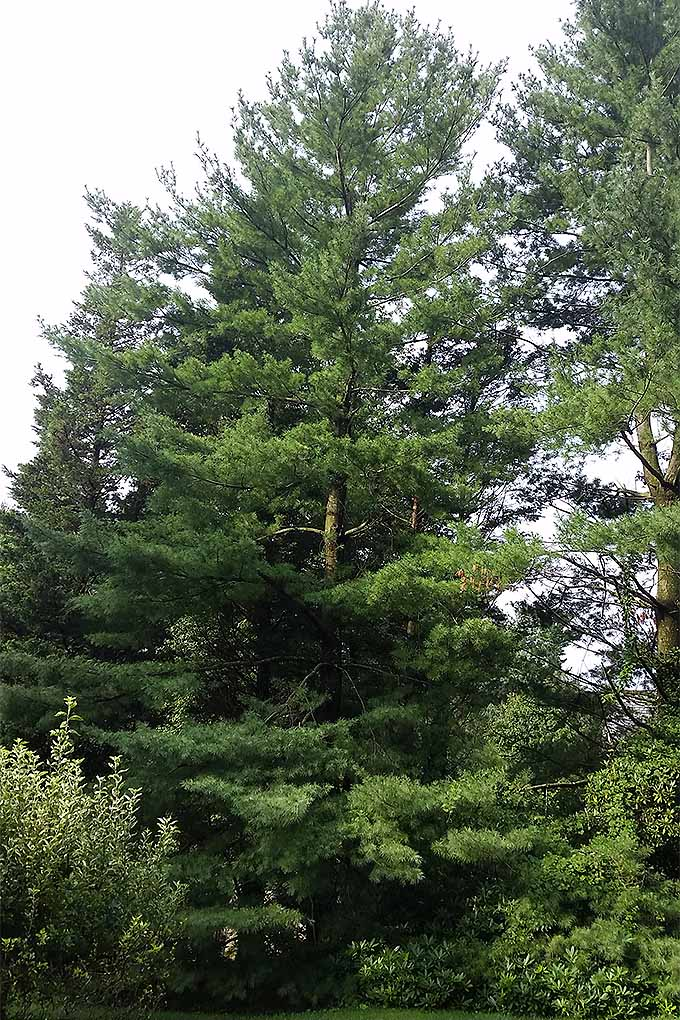 White pine is an excellent quick-growing tree to add to the landscape. Check out more of our recommendations on Gardener's Path: https://gardenerspath.com/plants/landscape-trees/how-use-to-cool-your-home/