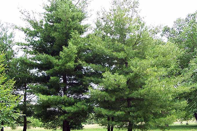 Eastern White Pine Tree (Pinus strobus) | GardenersPath.com