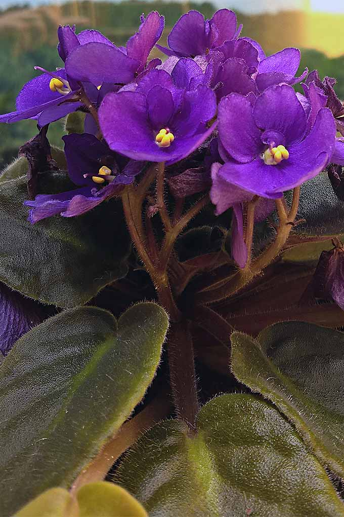 Growing and propagating African violets at home can be fun and rewarding- and with the right tools and a little bit of knowhow, it doesn't have to be difficult! Check out our tips: https://gardenerspath.com/how-to/propagation/cloning-african-violets/